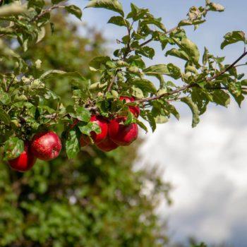 Äpfel am Oberpfaffstallerhof in Klobenstein